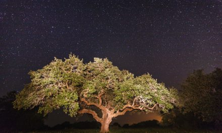 Stars Above Oak Tree