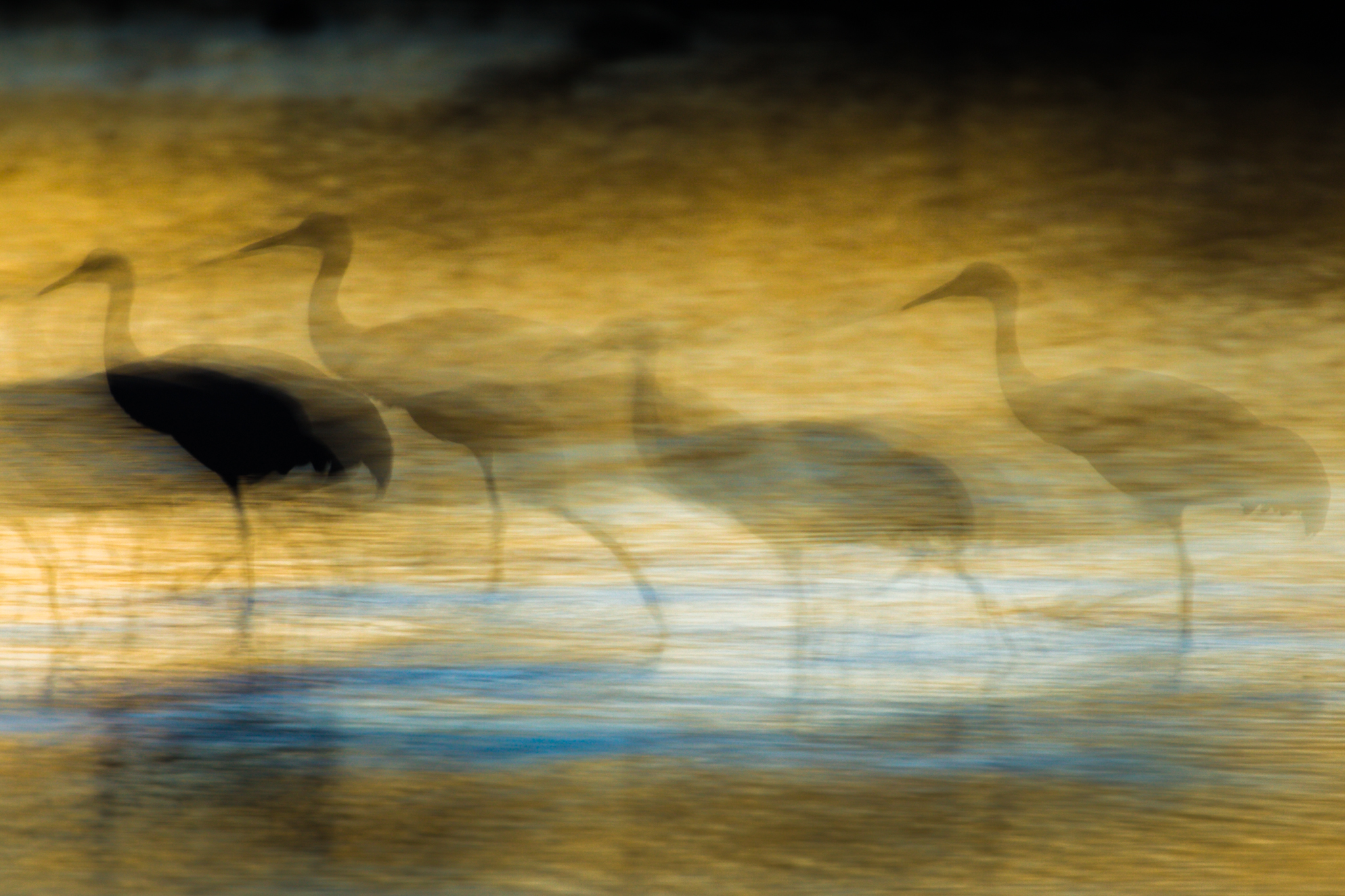 Sandhill Crane Ghosts