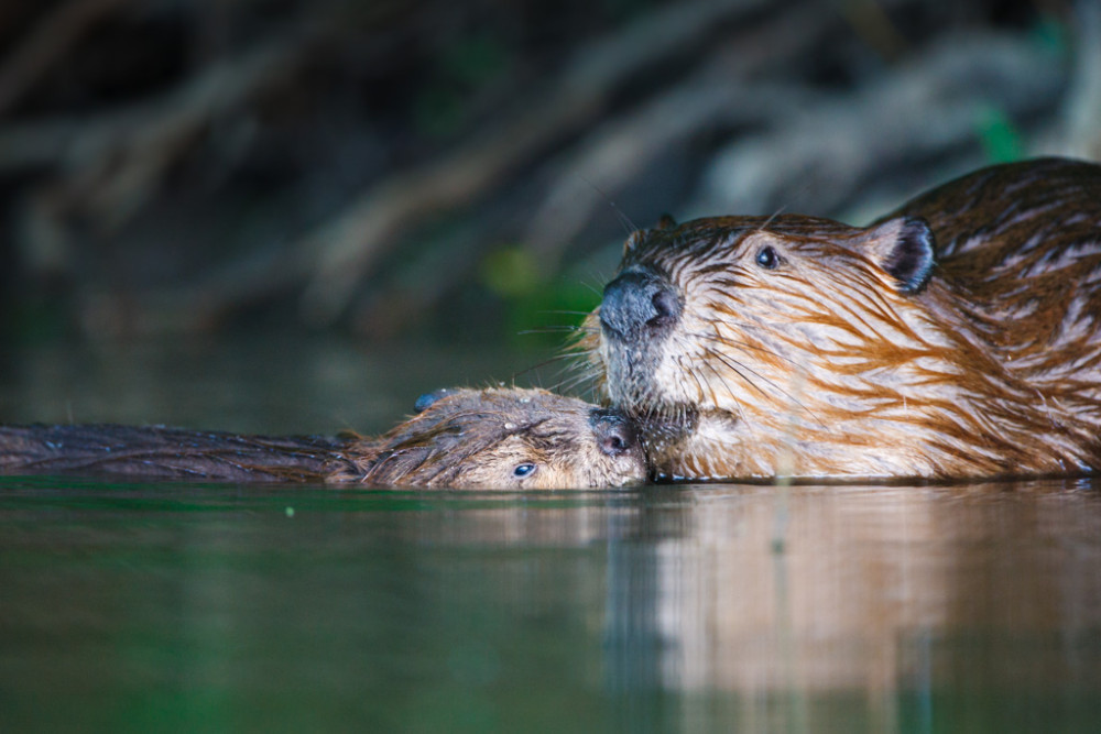 "Mature and juvenile beaver swimming together, ""Secret Bird Pond"" near Trinity River Audubon Center, Great Trinity Forest, Dallas, Texas, USA."
