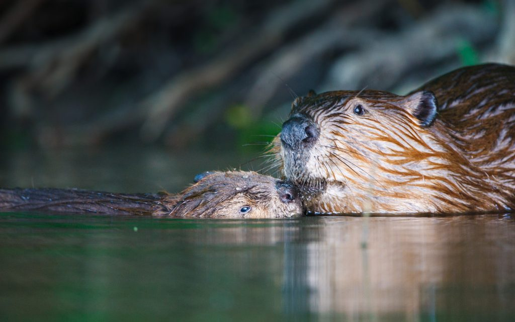 Fun with Beavers