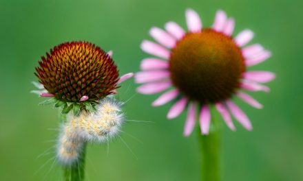 Caterpillar and Coneflower