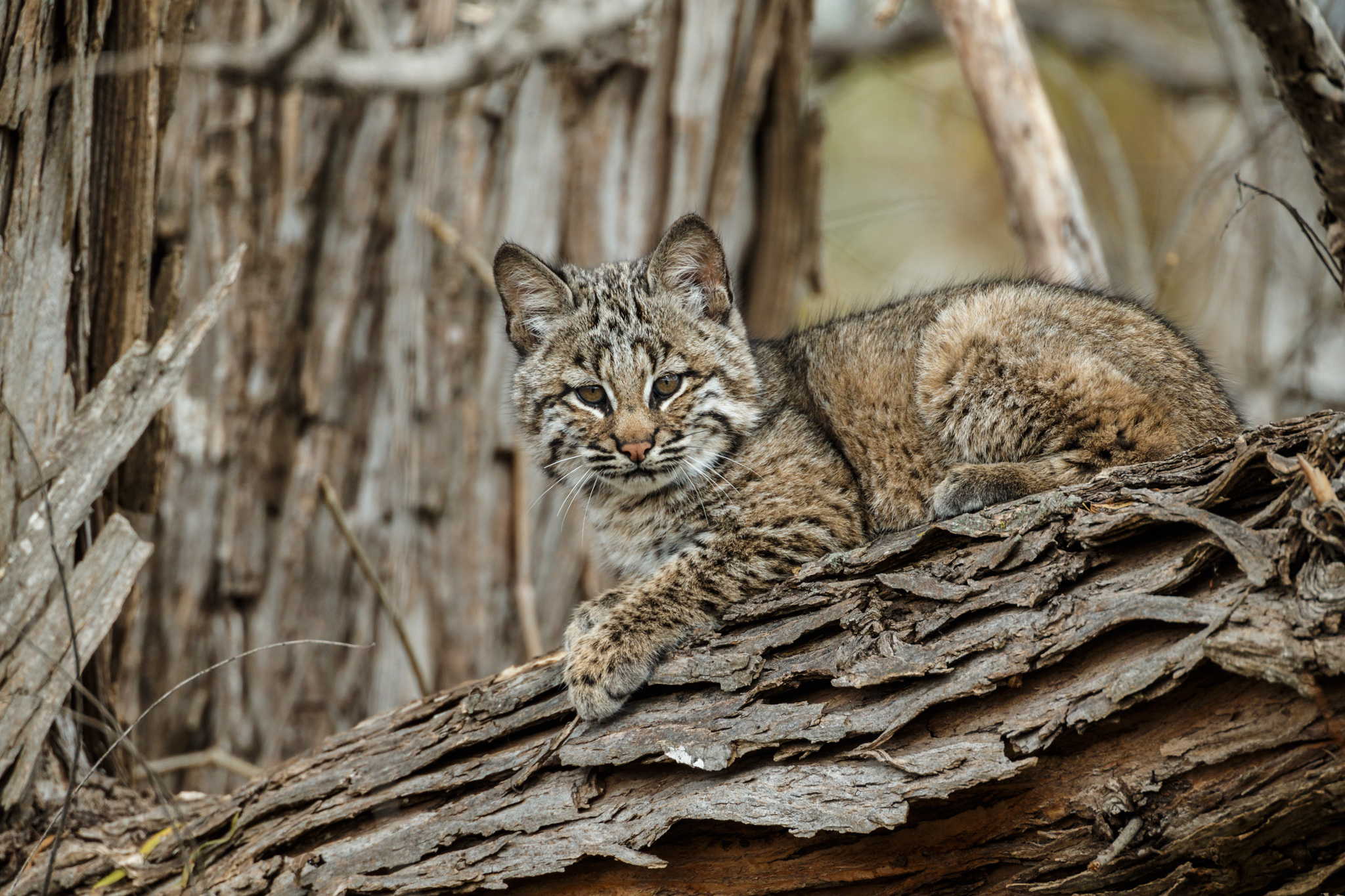 My Bobcat Photo is on Nat Geo Wild's Big Cat Week!