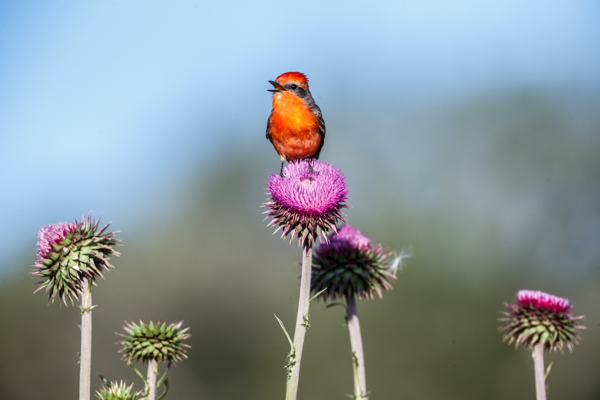 Vermilion Flycatcher on Thistle