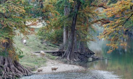 Sheep on the River
