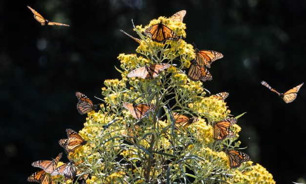Backlit Monarchs