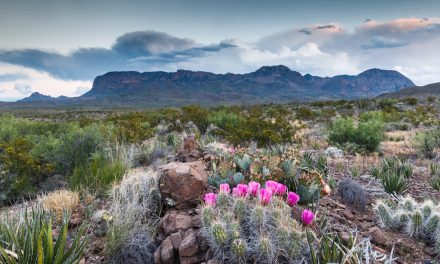 Strawberry Hedgehog Cactus and Chisos Mountains