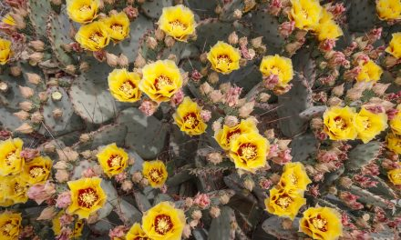 Prickly Pear Blooms