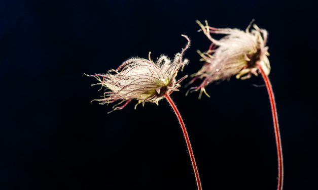 Prairie Smoke – and Fun with Backlighting