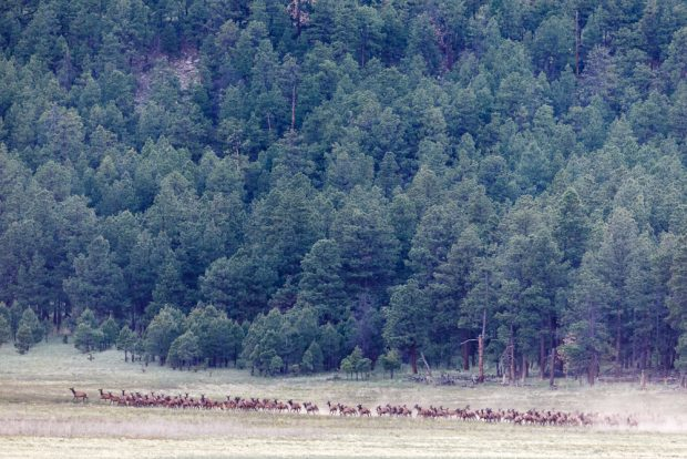 Elk herd on meadow near forest, Vermejo Park Ranch, New Mexico, USA.