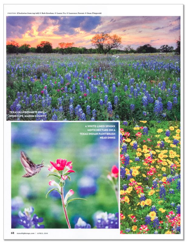Texas Highways April, 2016. White-lined sphinx moth in field of Indian paintbrush and bluebonnets, Ennis (south of Dallas), Texas, USA