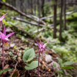 Search for the Calypso Orchid